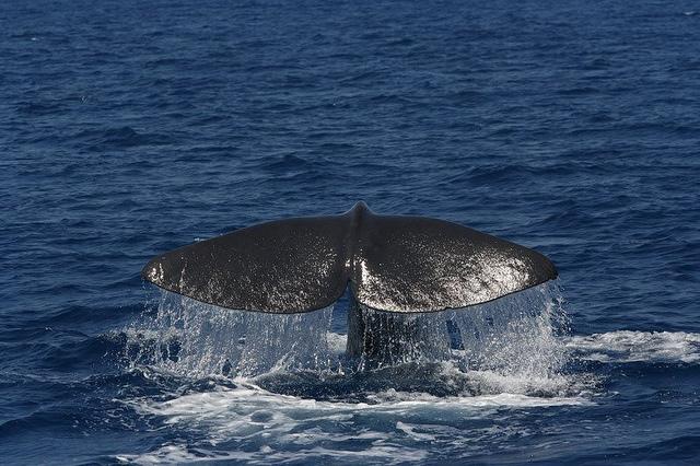 """Il Cetacean Sanctuary Research si svolge nelle meravigliose acque del Mar Ligure all'interno del Santuario dei Cetacei """"Pelagos"""""""