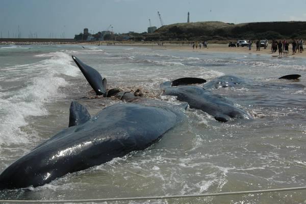 I capodogli spiaggiati a Punta Penna