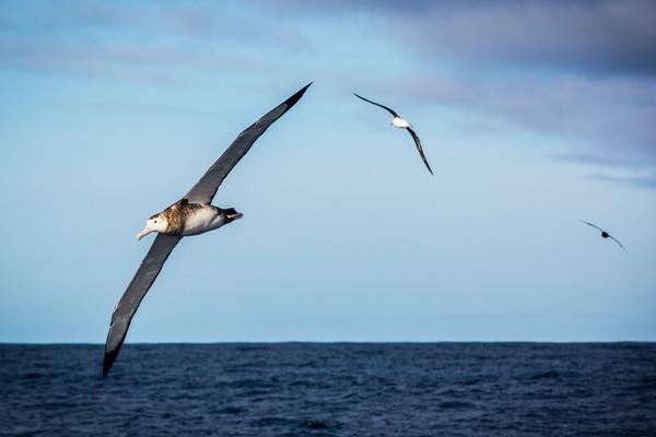 Gli Albatross del Sud Atlantico visti dall'obiettivo di Amory Ross su Alvimedica