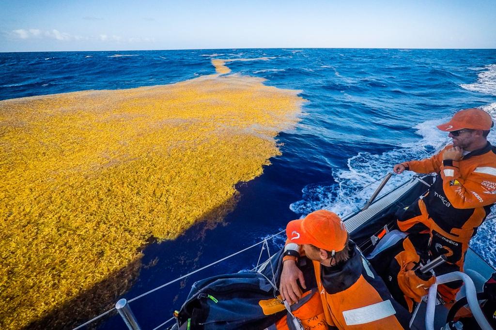 Non c'è dubbio, siamo in pieno Mar dei Sargassi... Da Alvimedica passano vicino alle tipiche alghe gialle della zona. Foto Ross